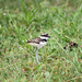 Baby Killdeer