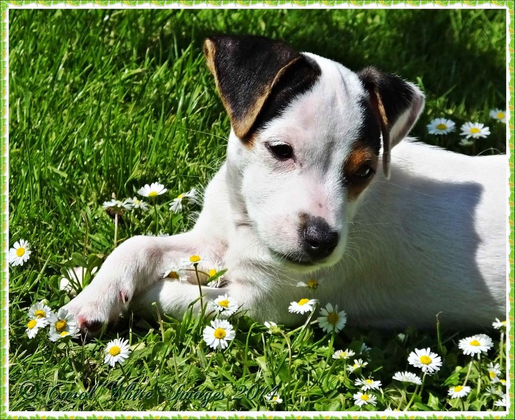 Daisy by carolmw