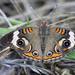 Eyespots by cjwhite