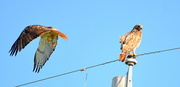 2nd Jul 2014 - Stop and Go - Two Red-Tailed Hawks