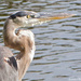 Great Blue Heron by stcyr1up