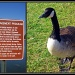 Canada Goose Redux by allie912