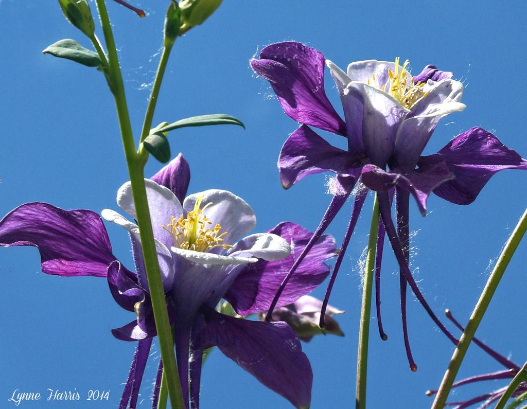 Columbine Flowers by lynne5477