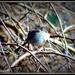 Little wren by dianeburns
