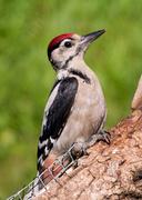 4th Jul 2014 - Woodpecker - 4-07
