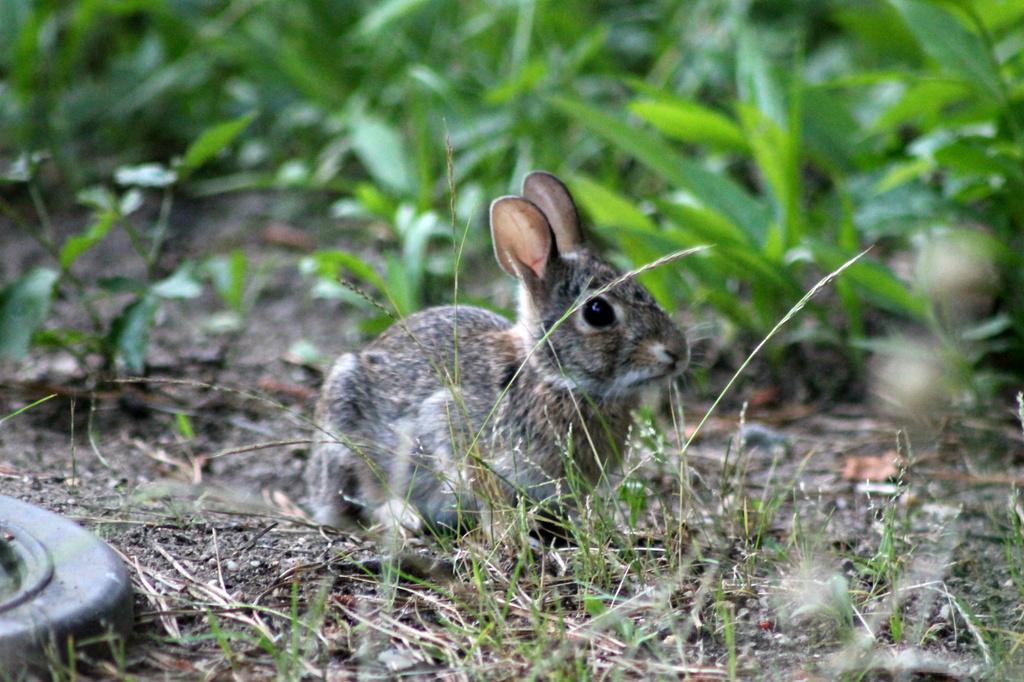 Baby Bunny by lauriehiggins