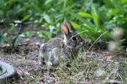 3rd Jul 2014 - Baby Bunny
