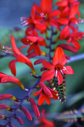 3rd Jul 2014 - Red hot flowers
