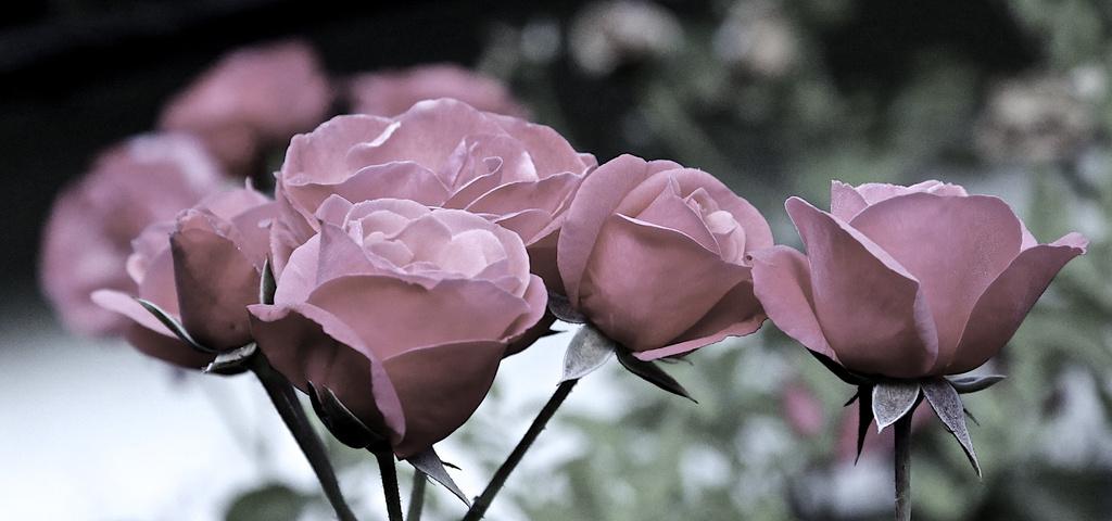 Paper roses by nicolaeastwood