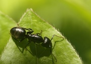 5th Jul 2014 - The Ant