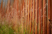 6th Jul 2014 - Rusty grasses