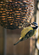 6th Jul 2014 - Nuts about Bluetits....