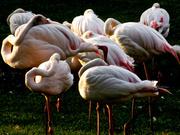 28th Jun 2014 - Flamingos at sundown