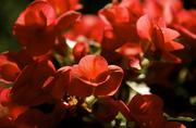 29th Jun 2014 - Red begonias