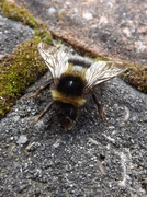 5th Jul 2014 - Not so busy bee