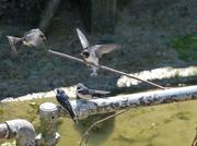 21st Jun 2013 - Baby Swallows