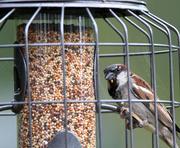 6th Jul 2014 - House Sparrow.
