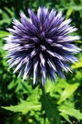 6th Jul 2014 - Purple Spikes!
