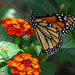 First Monarch Sighting by milaniet