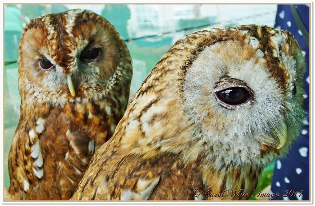 Tawny Owls by carolmw