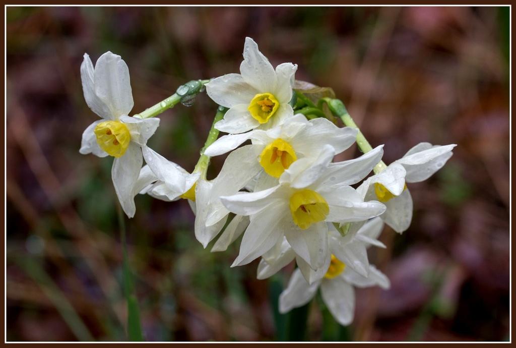 Daffodils by gosia