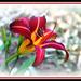 Dark Red Lily by vernabeth