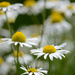 White flowers by richardcreese