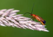 8th Jul 2014 - Soldier beetle - 8-07