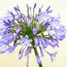 agapanthus on 365 Project