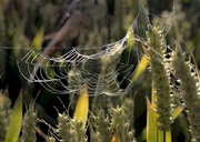 9th Jul 2014 - WheatWeb......