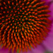 Coneflower Center by lyndemc