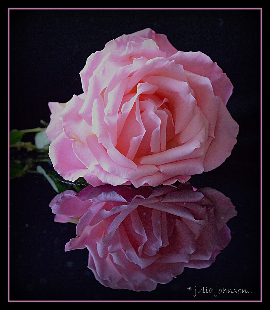 Kylies rose.... A week on.. by julzmaioro