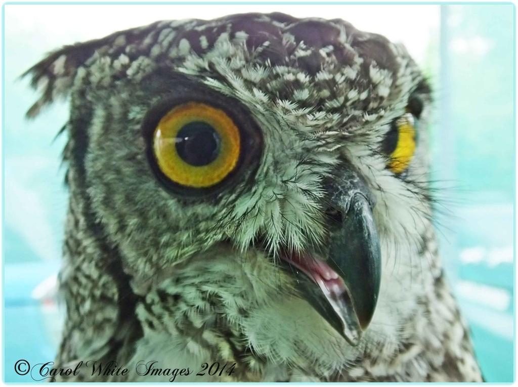 SPOTTED EAGLE OWL by carolmw