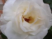 8th Jul 2014 - The gift of a rose