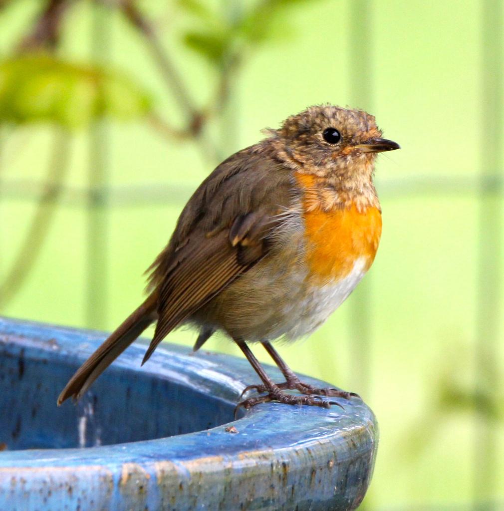 Juvenile Robin by padlock