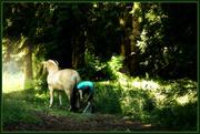 10th Jul 2014 - Under the spreading (cedar) tree ...