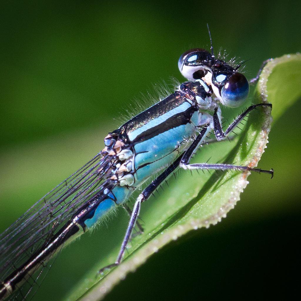 Blue tailed damselfly by jantan