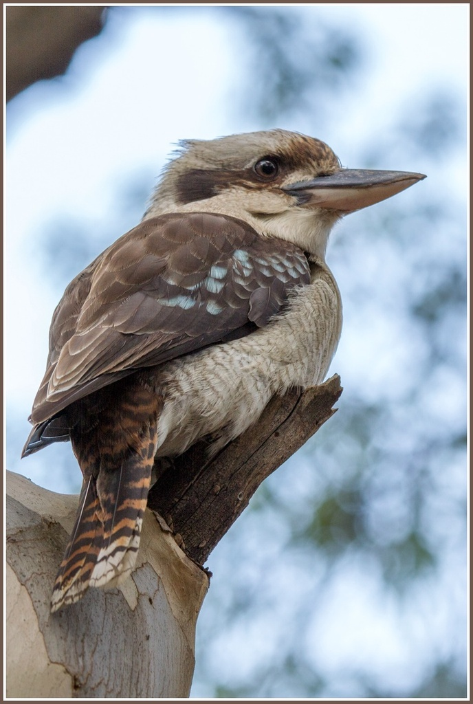 Kookaburra by gosia