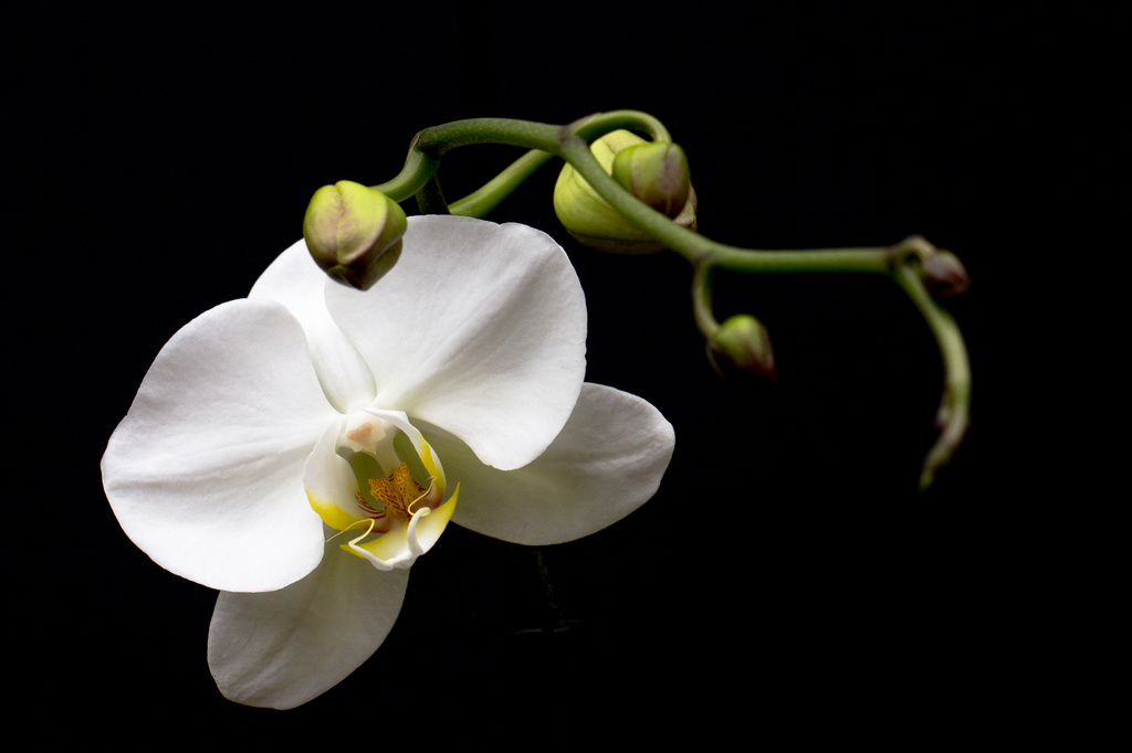 2014 07 11 - Orchid by pixiemac