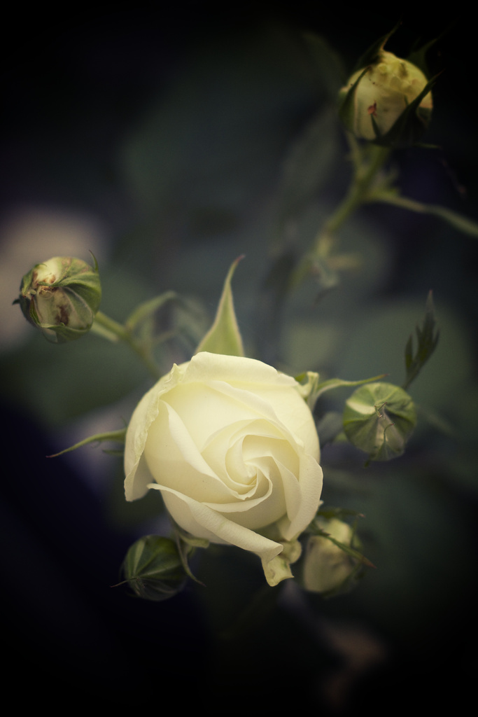 White Roses by kwind