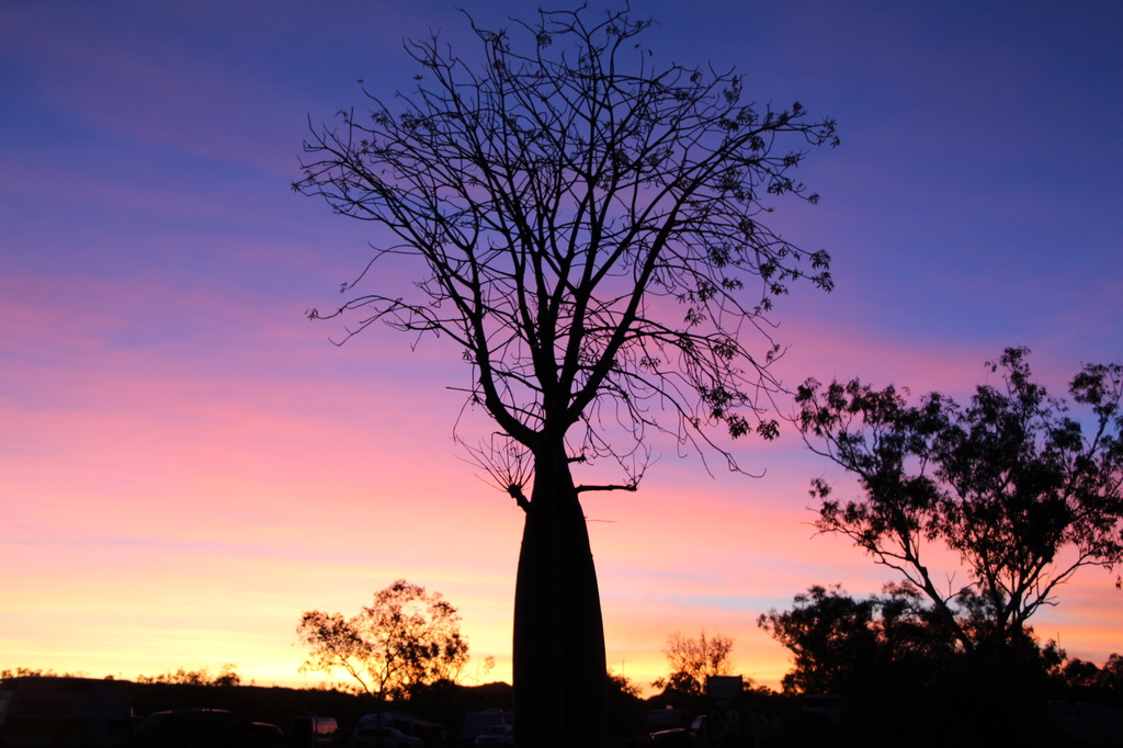 Boab at Sunset by terryliv
