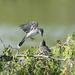 Kingbird and Chick by gardencat