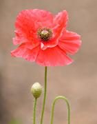 12th Jul 2014 - Botanical Gardens: Poppy.