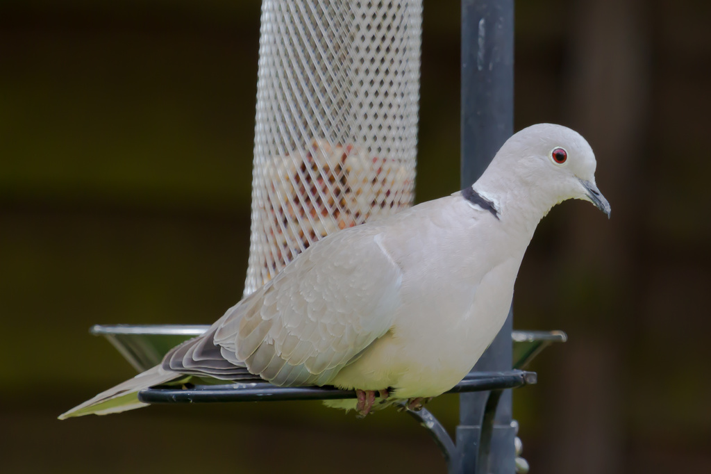 2014 07 12 - Collared dove by pixiemac
