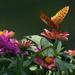 Flutter by mittens