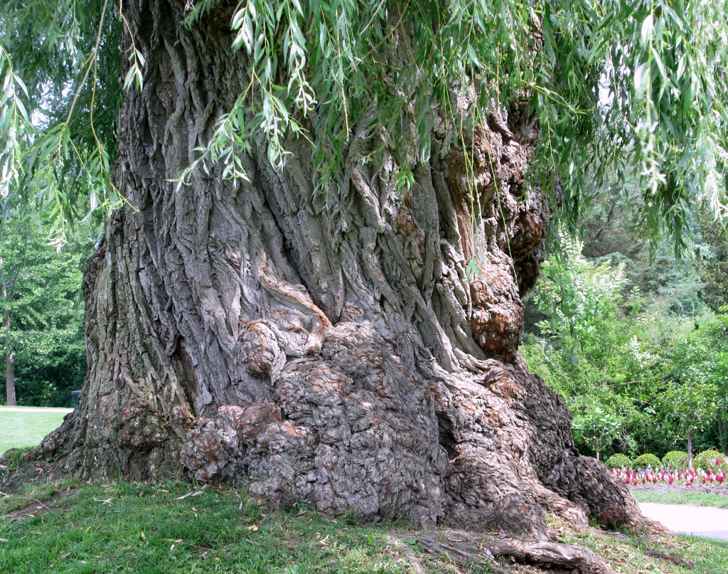The old mighty Weeping Willow by bruni