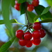 Sour Cherries #1 by jayberg