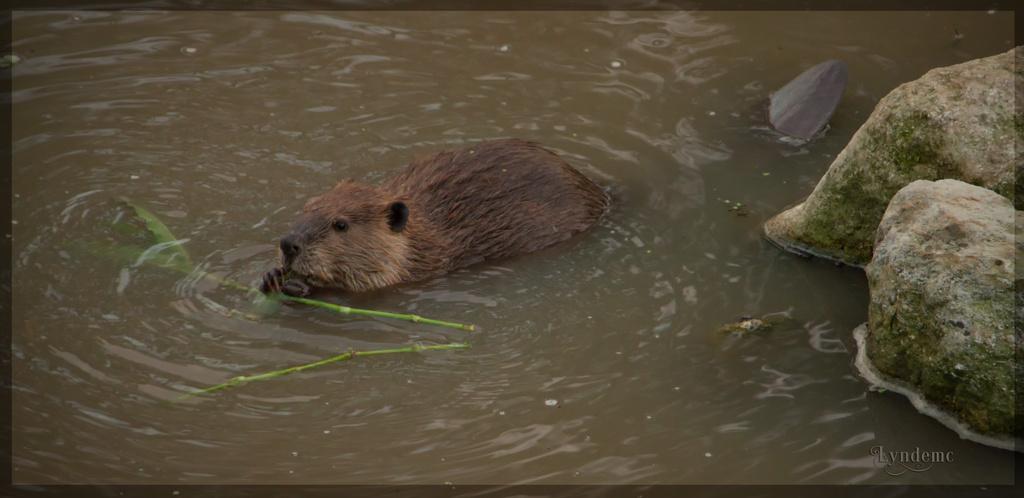 American Beaver  by lyndemc