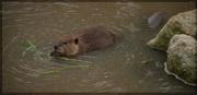 13th Jul 2014 - American Beaver