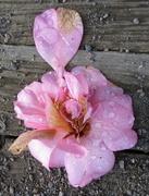 14th Jul 2014 - Camellia 'Mary Phoebe Taylor'